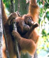 Sumatra: From $499 for a Nine-Day Wild Orangutan and Tiger Trek with Expedition Jungle