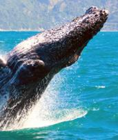 Four-Hour Whale Watching Cruise with Buffet Breakfast or BBQ Lunch: $39 for a Weekday Cruise or $45 for a Weekend Cruise (Value $94)