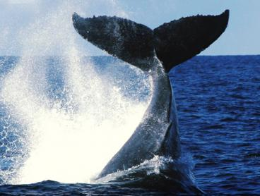 2.5-Hour Whale Watching Cruise with Refreshments & Photographic Booklet - $39 for One Child and $59 for One Adult. Whale Sighting Guarantee! (Valued Up To $114)