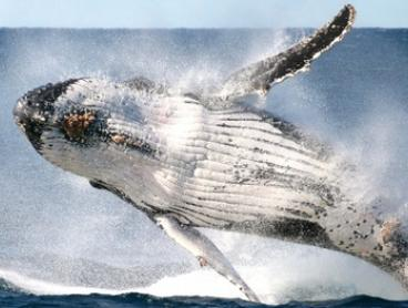 Whale Watching Cruise + Refreshments for 1 ($35) or 2 People ($67) with Go Whale Watching, CBD (Up to $160 Value)