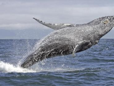 Weekend Whale Watching Cruise + Hot Breakfast ($45) with Oz Whale Watching (Up to $94 Value)